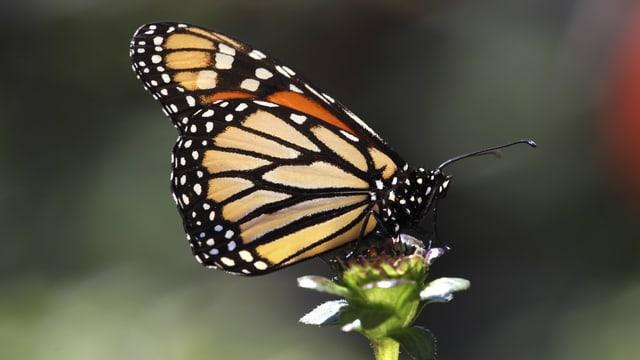 Ein Monarch-Falter sitzt auf einer Blüte