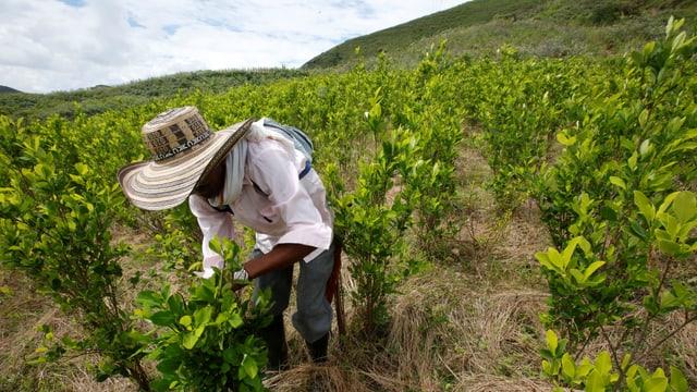 Ein Bauer mit grossem Hut erntet Cocablätter.