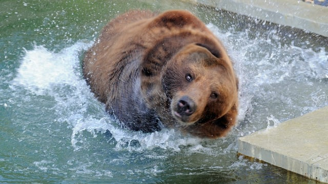 Der Bär Finn am Baden.