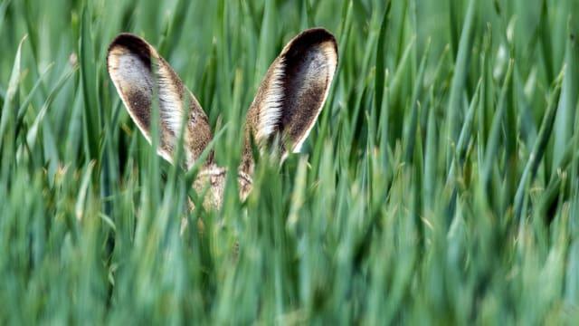 Feldhase im Gras, nur die Ohren sind zu sehen.