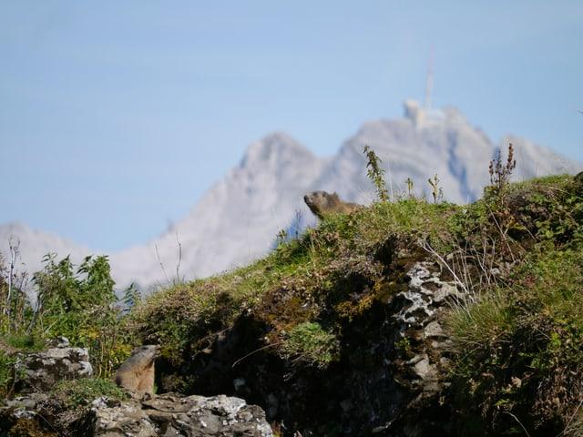 Murmeltiere in einer hochalpinen Wiese.