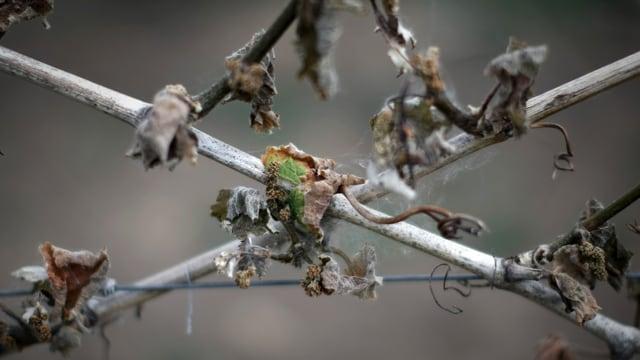 Verfrorene Weintrauben-Triebe