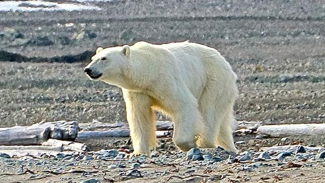 Eisbärenweibchen an einem einsamen Strand in Spitzbergen.