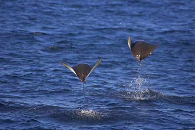 Zwei Riesenmantas springen vor der Küste von Mexiko aus dem Wasser.