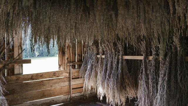 Das Wermutkraut wird in einer Hütte getrocknet.