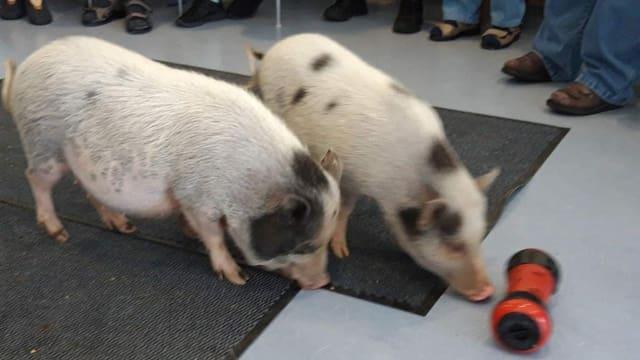 Zwei Schweinchen spielen mit einem Spielzeug