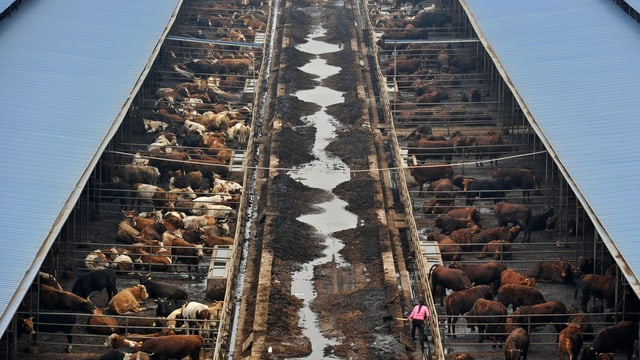 Rinderfarm in China.