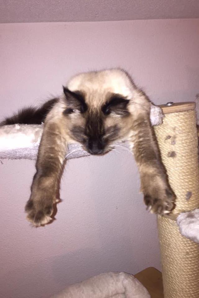 Katze auf einem Katzenturm mit hängenden Pfoten.