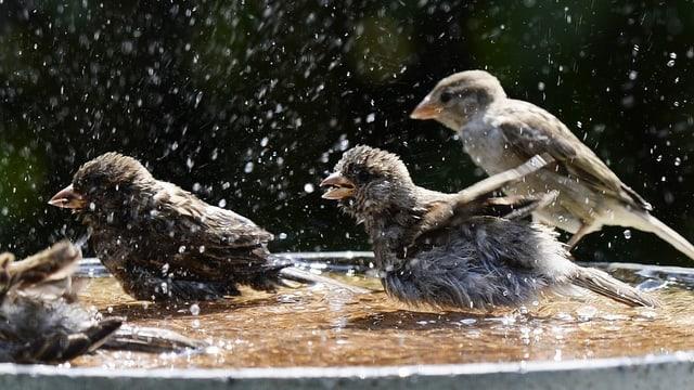 Spatzen planschen in einem Wasserbecken.