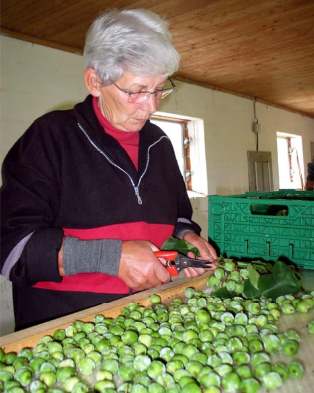 EIne Frau schneidet die Früchte mit einer Schere von den Zweigen. Vor sich ein ganzer Haufen traubengrosser Früchte.
