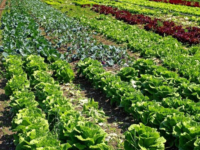 Salat auf einem Feld.