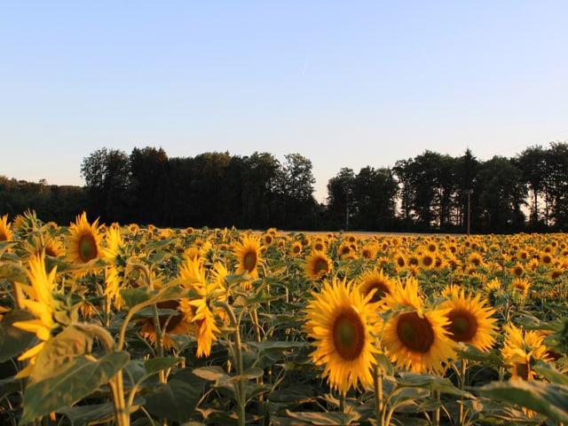 Viele aufgeblühte Sonnenblumen, am Feldrand stehen Bäume.