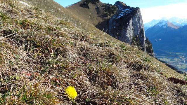 Selbst auf 1850 Metern über Meer liegt noch kein Schnee, dafür blühen auf der Stockenflue Blumen.