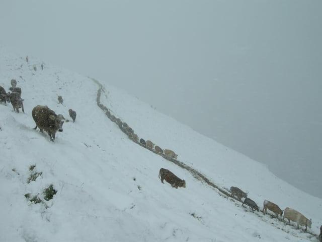 Alpwiese frisch verschneit, Kühe kämpfen sich durch den Schnee, und das auch noch im Nebel.