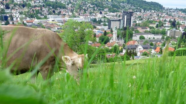 Kuh auf Wiese, dahinter die Stadt St. Gallen
