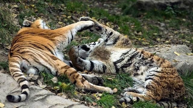 Tiger balgen sich