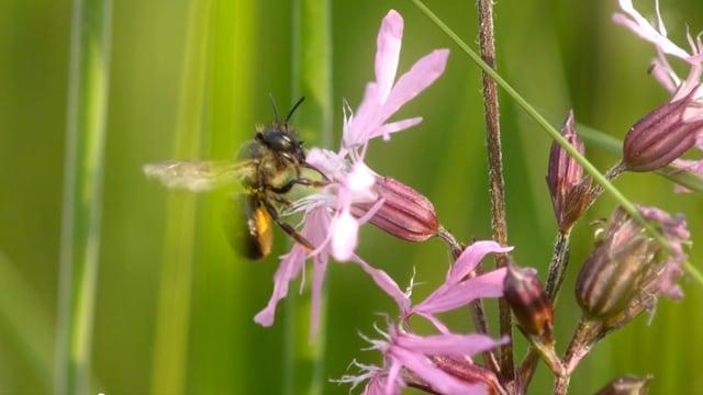 Biene trinkt Nektar