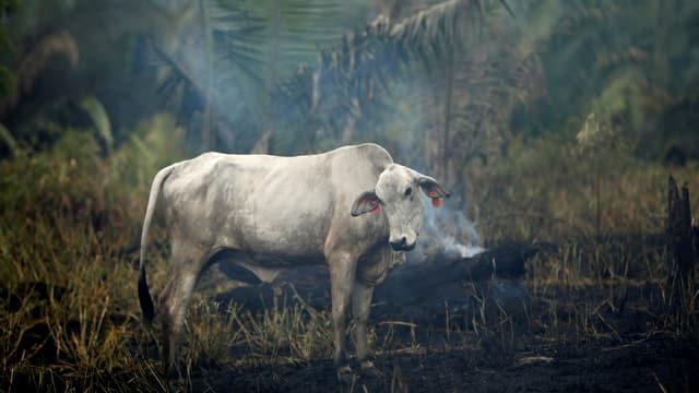 Kuh im Urwald, rauch um sie herum.