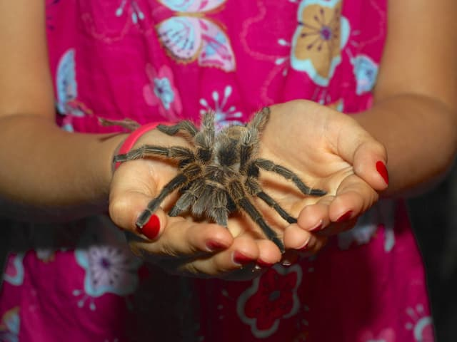Mädchen hält eine beeindruckend haarige und ganz schön grosse Spinne auf ihren Handflächen.