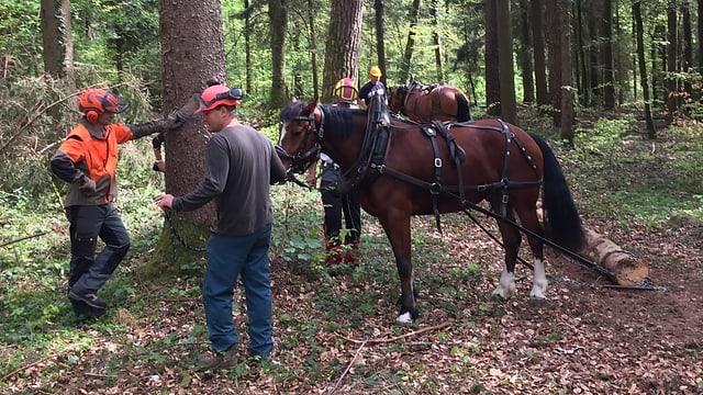 Ein Pferd zieht Baumstämme