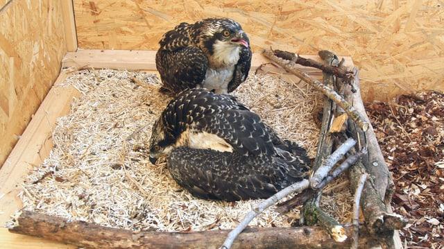Zwei junge Fischadler in einer Voliere.