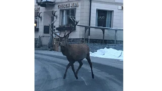 Il tschierv tras Zernez, qua davantt l'hotel Crusch Alba.