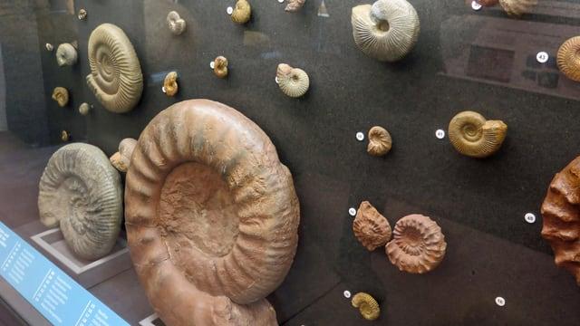 Vitrine mit Fossilien
