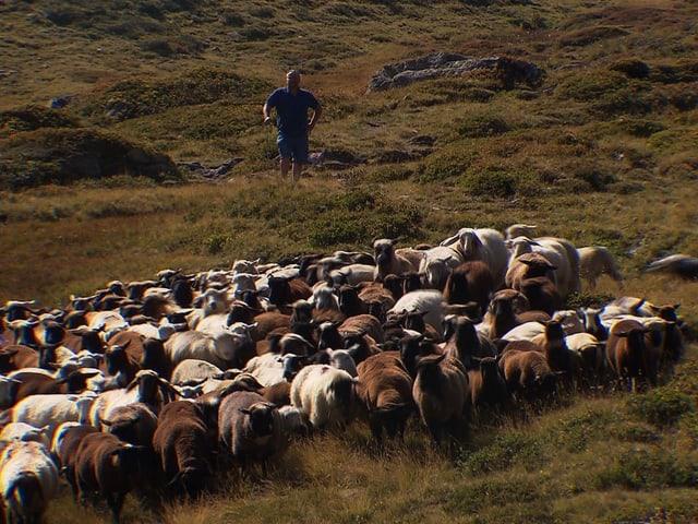 Ein Mann steht oberhalb einer Schafherde in einer Wiese.