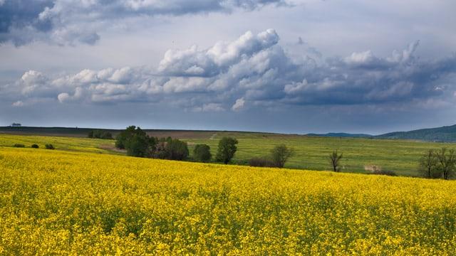 Gelbes Rapsfeld unter bewölktem Himmel