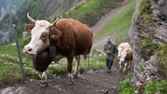 Kühe erklimmen den schmalen und steilen Treppenweg auf die Alp.