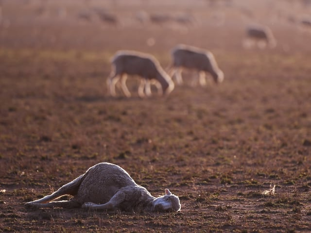 Ein totes Schaf im australischen Bundesstaat New South Wales.