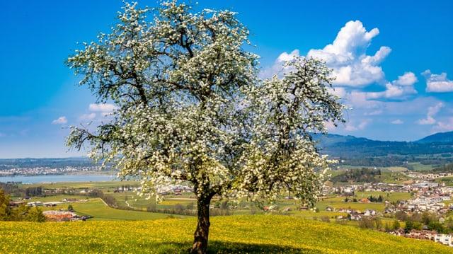 Obstbaum in voller Blüte bei Altendorf/SZ.