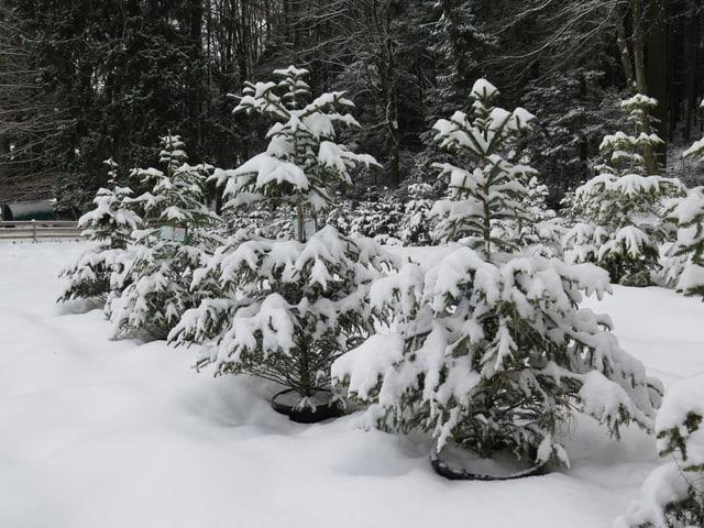 Weihnachtsbäume in Töpfen, Schnee
