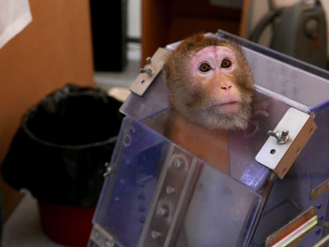 Ein Affe in einer Art violetten Kiste.