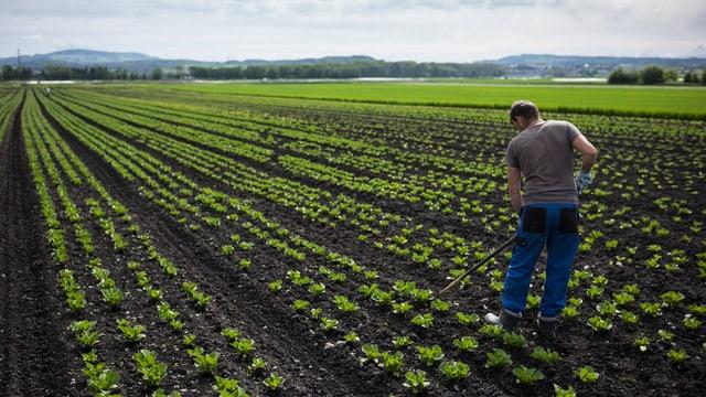 Salatköpfe auf Feld