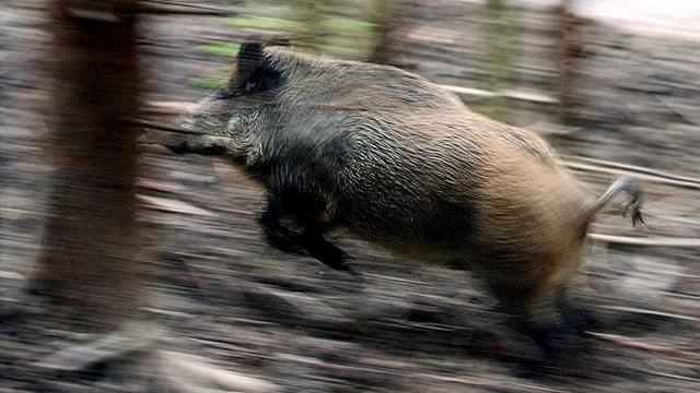 Wildschwein rennt durch den Wald
