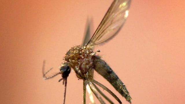 Eine Malariamücke im Bild.