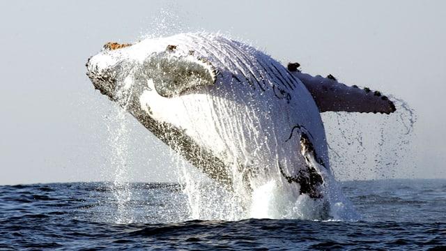 Wal, der aus dem Wasser springt