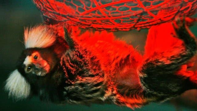 Weissbüschelaffe. Kleiner weiss-schwarzer Affe.