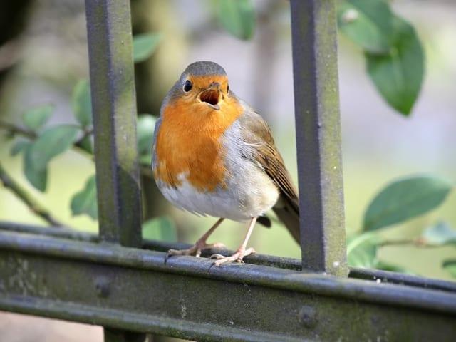 Rotkehlchen singen im Moment besonders oft.