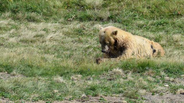 L'urs Napa en il Parc d'urs ad Arosa.
