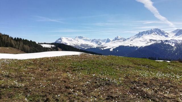 Blühende Krokusse neben kleinem Schneefeld.