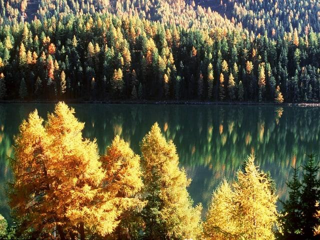 Herbstlich 'leuchtet' der Lerchenwald am Silsersee im Engadin, aufgenommen bei Plaun da Lej.
