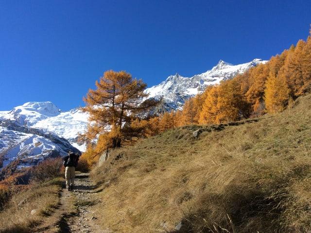 Ein Mann wandert einen Wanderweg hinauf dem goldenen Lärchenwald entgegen. Im Hintergrund eine weisse Gletscherwelt und darüber ein stahlblauer Himmel.