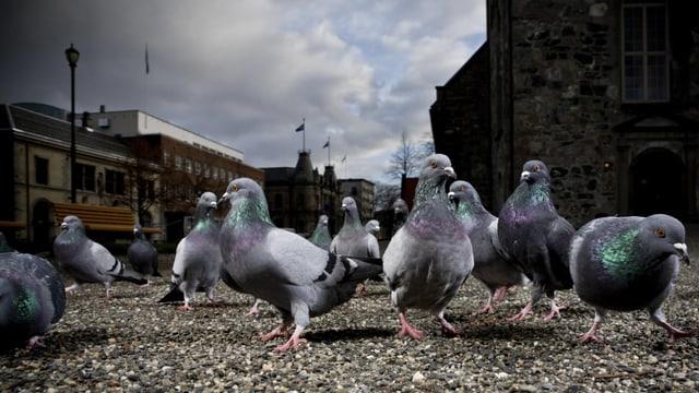 Tauben auf Mauer
