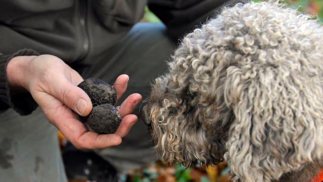 Suchhund Vico hat auf der Pirsch in der Region Berner Seeland zwei Trüffel erschnüffelt.