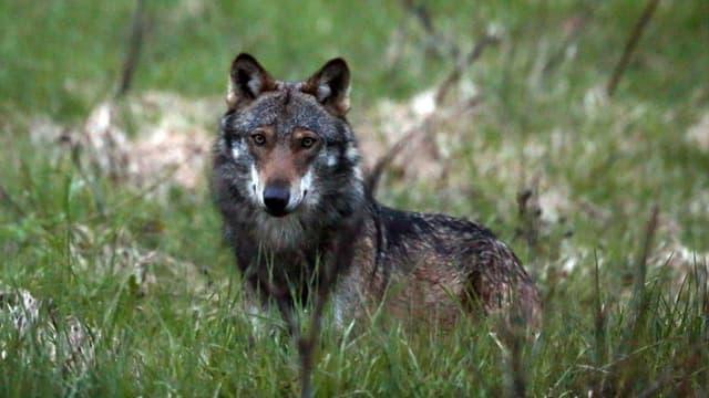 Ein Wolf fotogrfiert beim Dorfeingang von Bellwald im Goms.