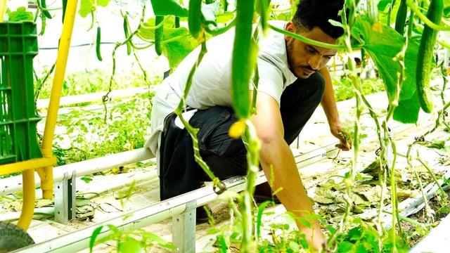 Mann arbeitet in einer Tomatenplantage