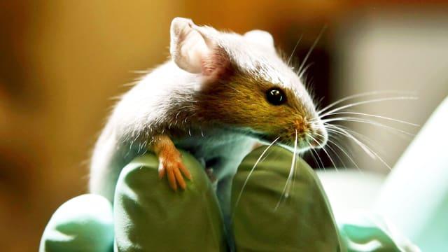 Eine Maus klettert auf einer Hand in grünen Handschuhen herum.