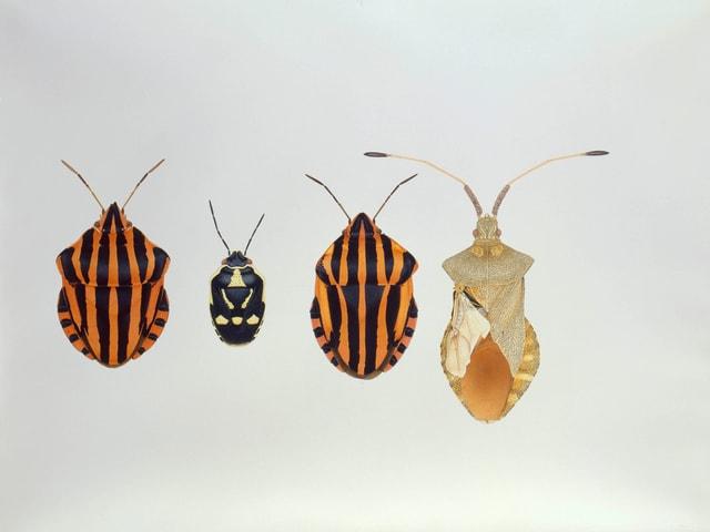 Vier deformierte Wanzen